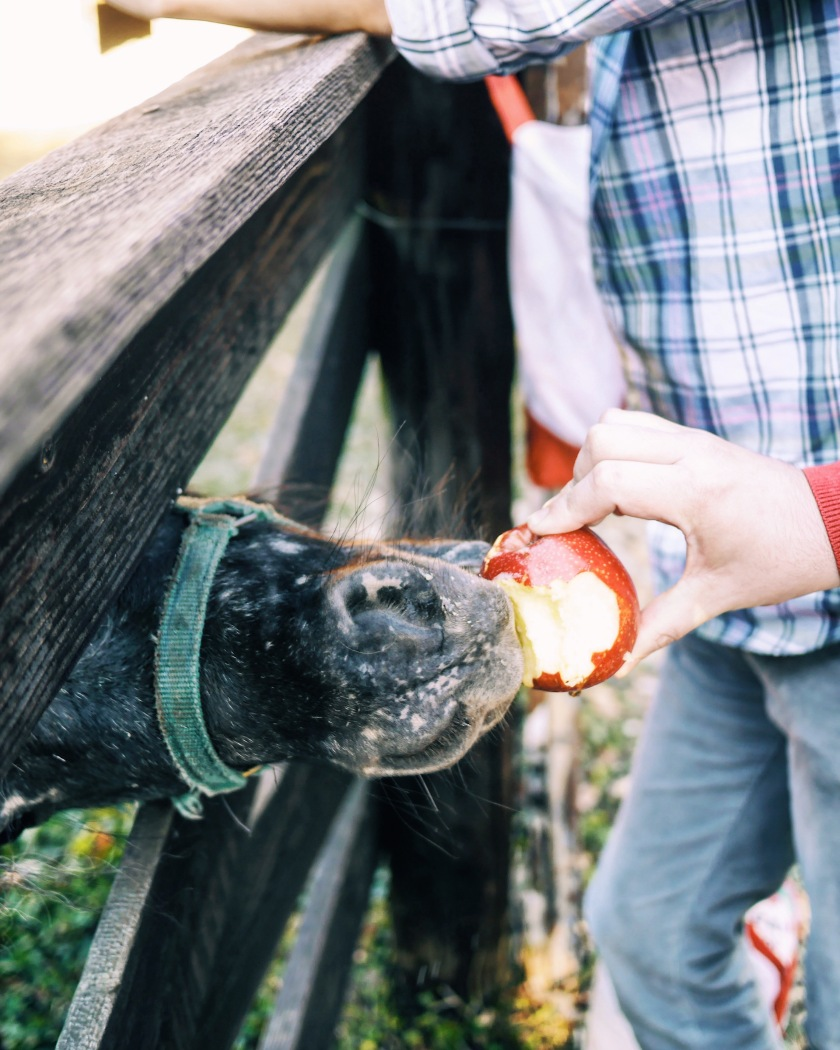 feeing a horse a red apple